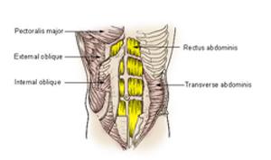 Abdominal Muscle Anatomy: Rectus Abdominis